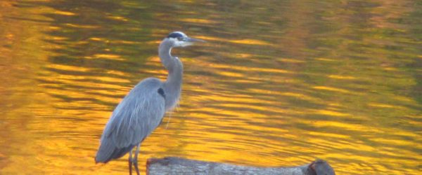 Great Blue Heron, American River, water, wildlife, writing, salmon, nature, outdoors, Fair Oaks, Fair Oaks Bridge