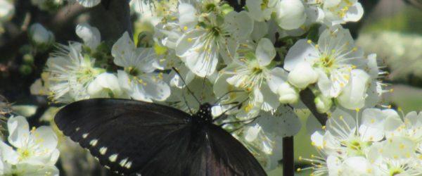Fernandez Ranch, John Muir Land Trust, Martinez, John Muir, writing, nature, outdoors, butterfly, spring, planting, hikes, walks, preservation, conservation